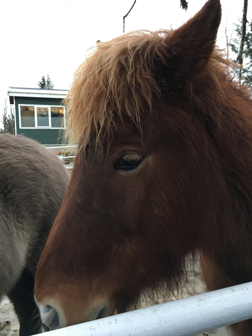 A stop at Fridheimar farm allowed us to get up close and personal with the furry, iconic Icelandic Horses.