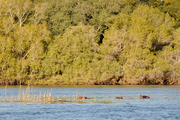 Hippos visible only by their ears as they walk along the river bottom of the Zambezi