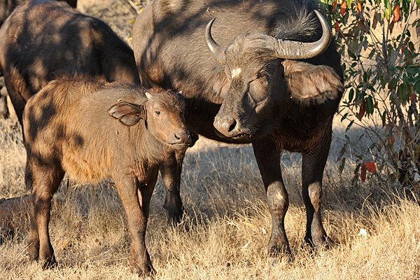 A cape buffalo and calf