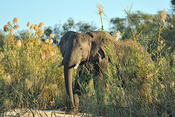 An old bull makes his way to the Zambezi River bank as we cruise by on a boat.