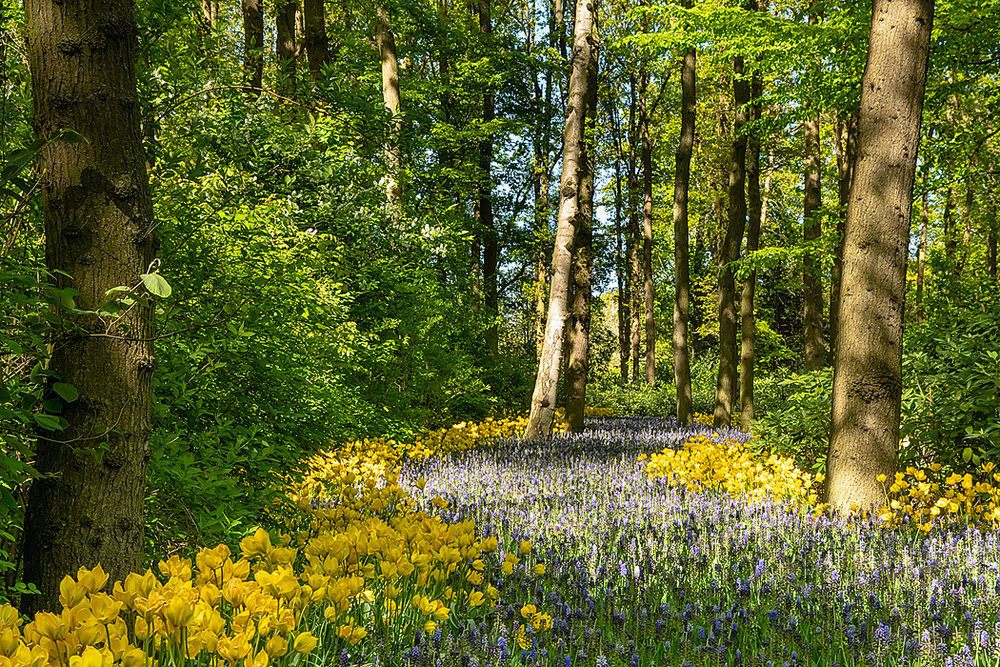 Tulips and hyacynth form a river of color in a woodland area