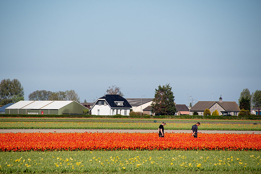 On the way out to Keukenhof, you'll pass flower fields where the bulbs are grown for harvest. Here a couple of workers inspect flowers to ensure the flower bulbs to be harvested will be perfect.