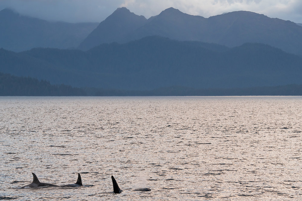 Orca travel in large pods, so spotting one, means looking for more!