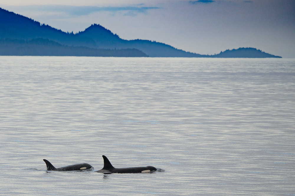 Orca, likely mother and calf