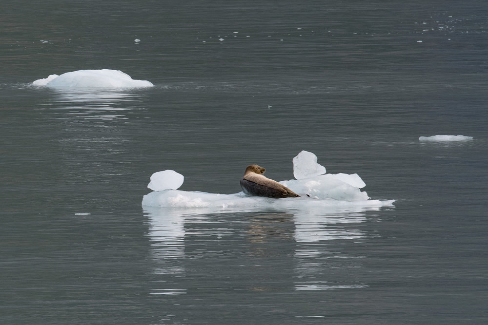 A seal rests on a chuck of ice