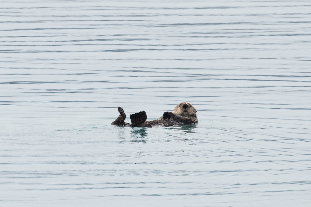 This sea otter decided he didn't need the ice, he'd just float along on his back!