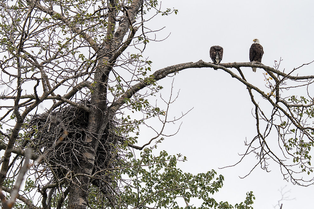 A pair of eagles with a huge nest in the Bald Eagle Preserve