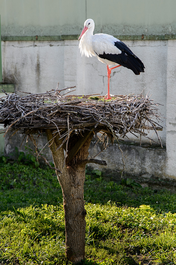 A stork in Mohacs, Hungary