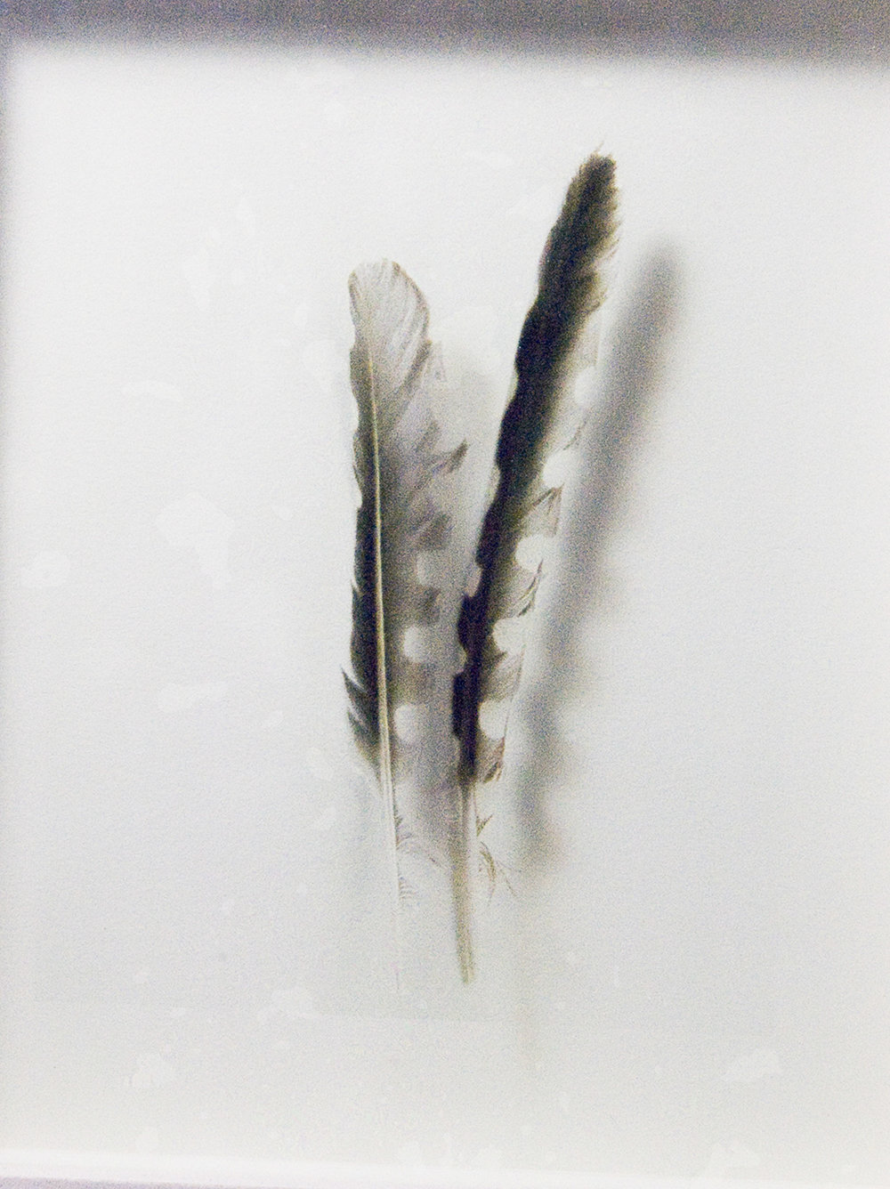 Icarus  , detail -feathers, Ink Jet print on acetate, 3 x 5 inches, 2004