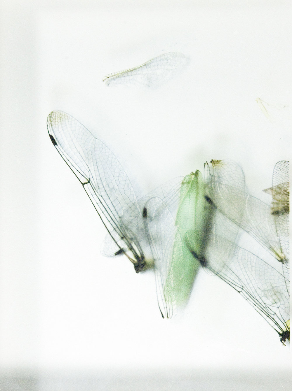 Icarus  , detail wings green, Ink Jet print on acetate, 3 x 5 inches, 2004