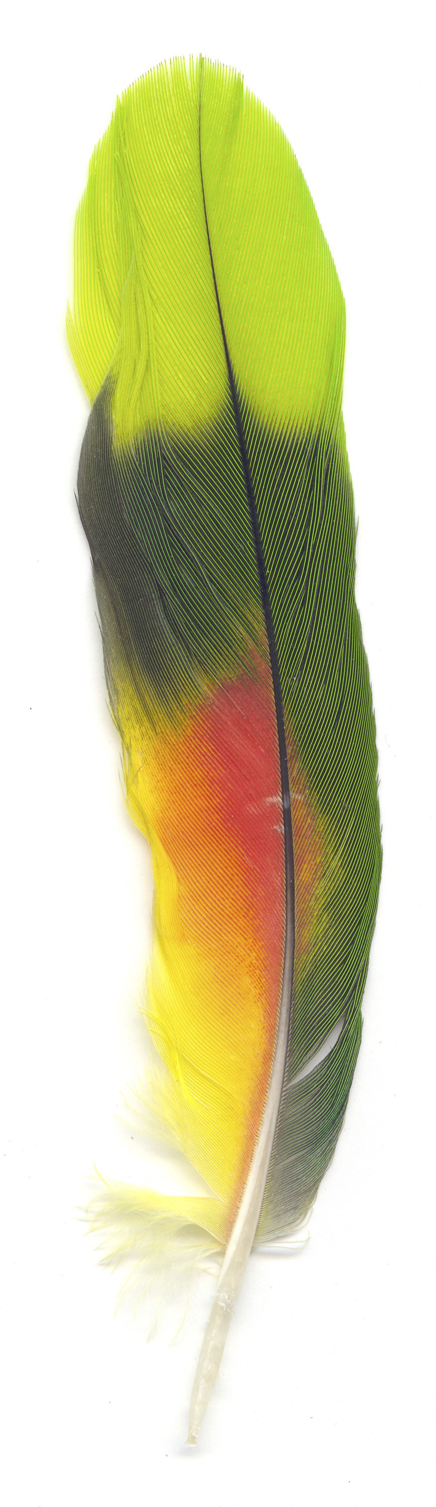 Collected Poems, Feathers, Parrot 3,   13x39 inches, Ink Jet print on Washi paper, 2006, Unique print, Private Collection