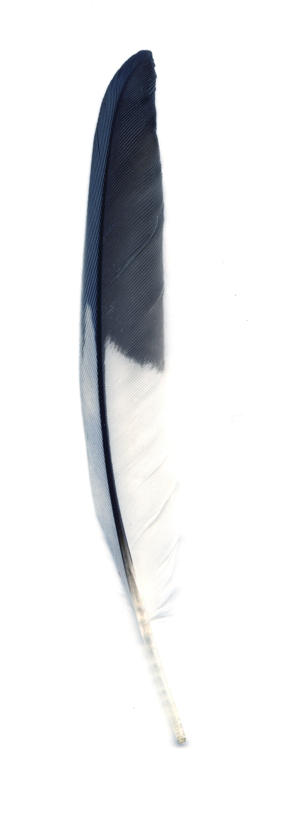 Collected Poems, Feathers, BlueJay (White, Gray and Blue),   13x39 inches, Ink Jet print on Washi paper, 2006, Unique print