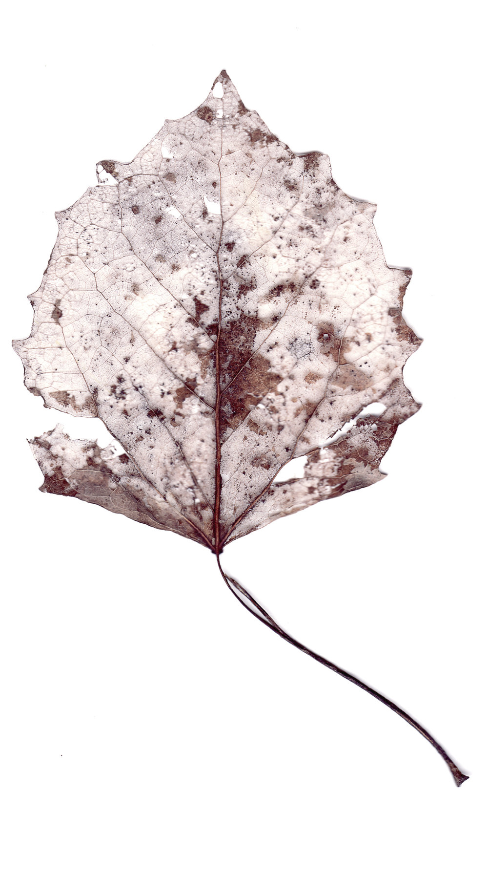 Collected Poems, Aspen Leaves0006  , Ink Jet print on Washi paper, 13x27 inches, 2007, ed. 3