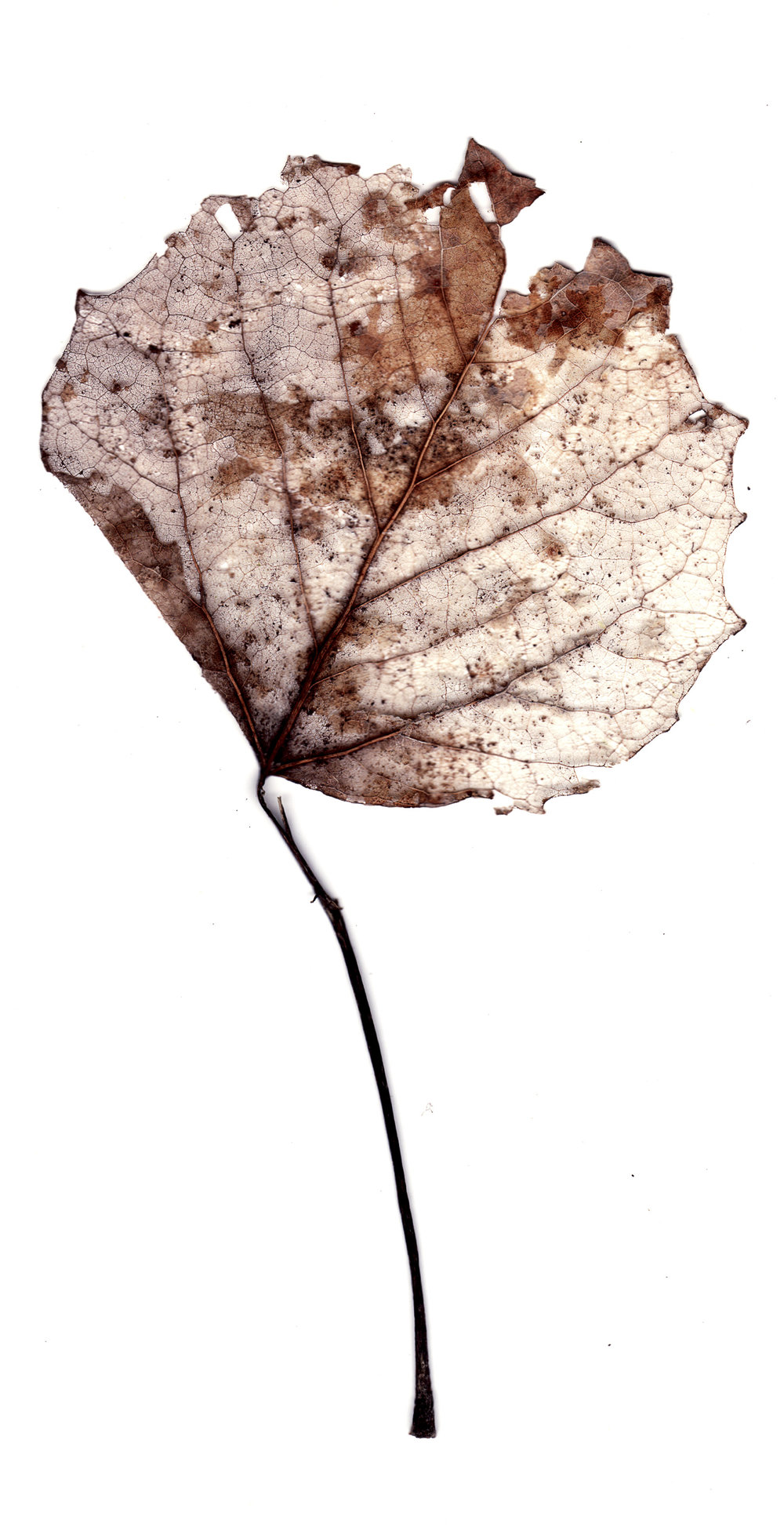 Collected Poems, Aspen Leaves0011  , Ink Jet print on Washi paper, 13x27 inches, 2007, ed. 3