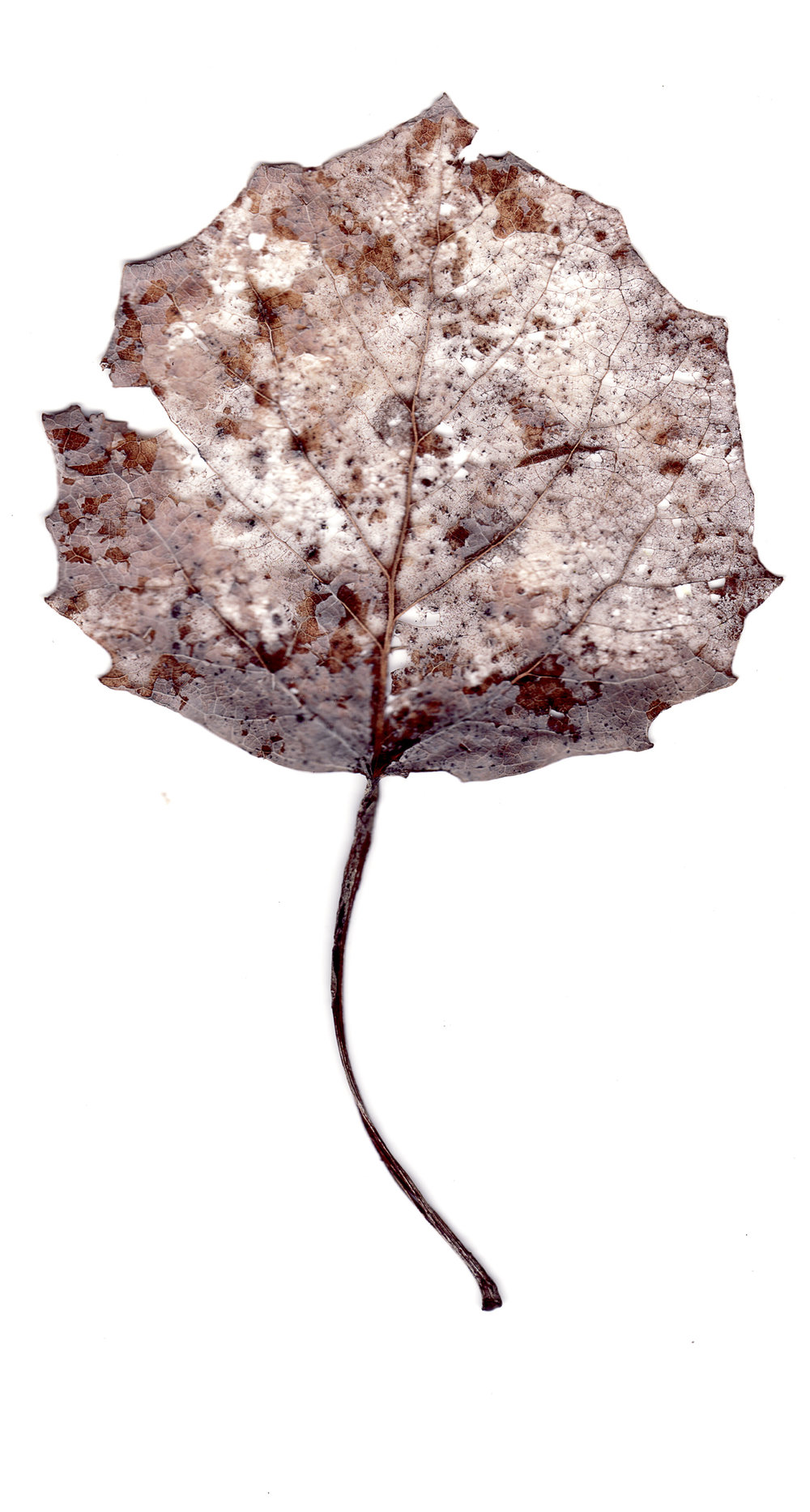 Collected Poems, Aspen Leaves0013  , Ink Jet print on Washi paper, 13x27 inches, 2007, ed. 3