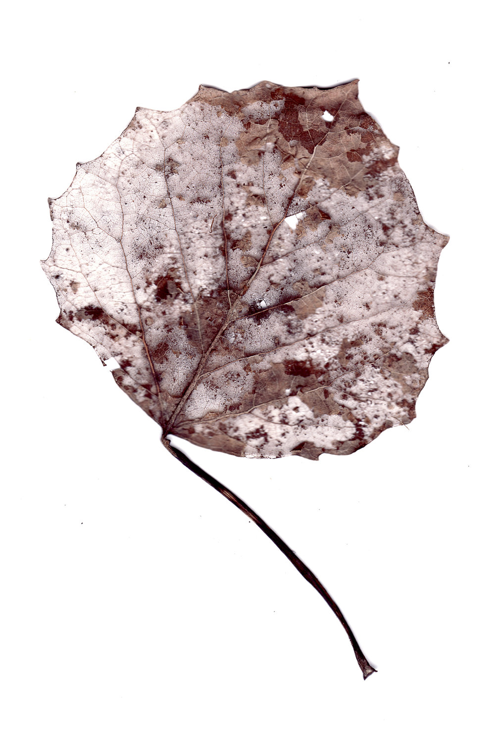 Collected Poems, Aspen Leaves0020  , Ink Jet print on Washi paper, 13x27 inches, 2007, ed. 3