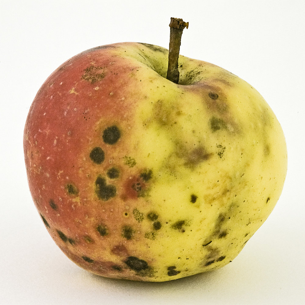 Feral Apples, Dunn's tree East Branch_31  , Archival Ink Jet print, 8x8 inches, 2008, ed. 5