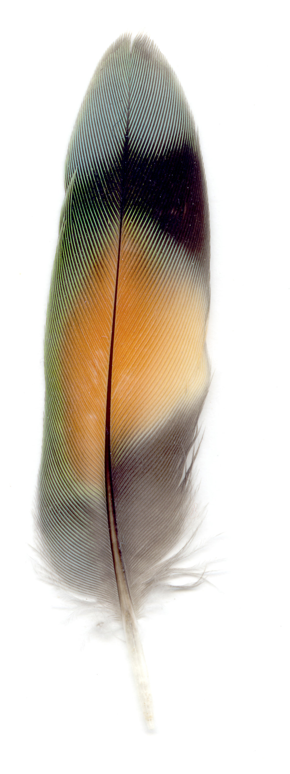 Collected Poems, Feathers, Love Bird_4,   13x39 inches, Ink Jet print on Washi paper, 2006, Unique print