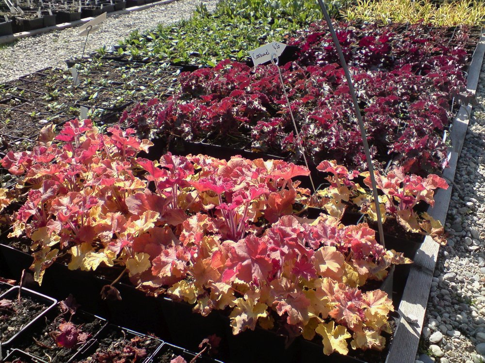 Heuchera in Sorten.jpg