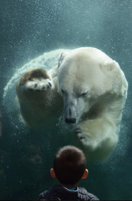 """The winning image by  Stephen Hikida , """"Zander and the Polar Bear,"""" was taken during a visit to the Columbus Zoo and Aquarium in Columbus, Ohio, where Hikida lives."""