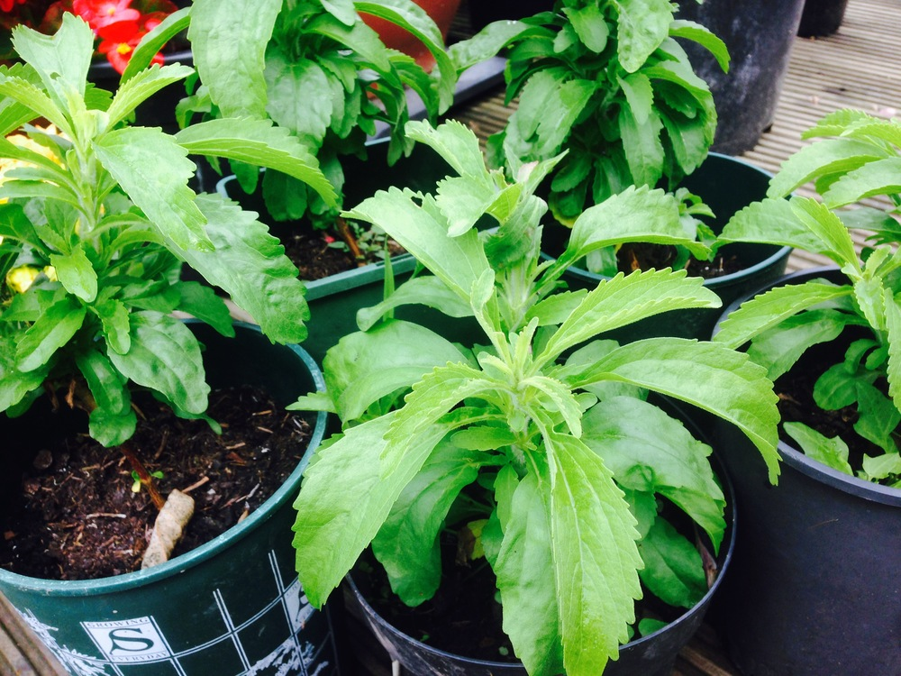 Stevia plants july 2015 - lets have some more sun!