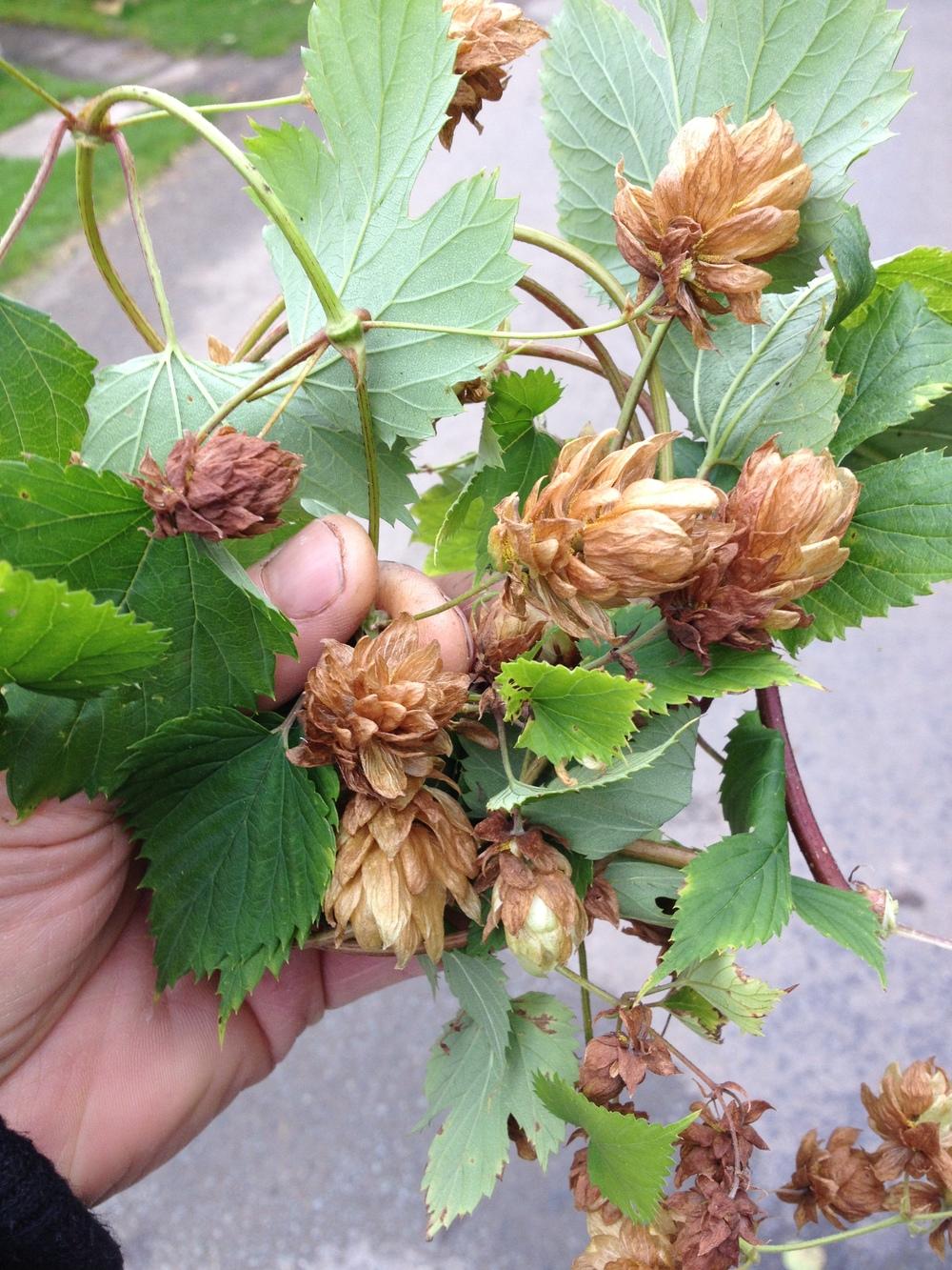Wild Hops 02 10 2012 Harome.JPG