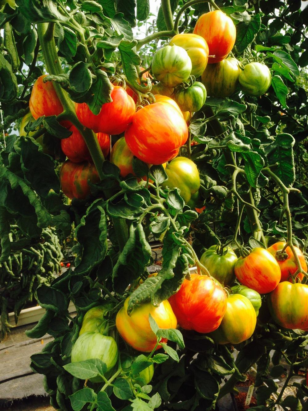 HeritageTomatoes_WhirlowhallFarm.jpg