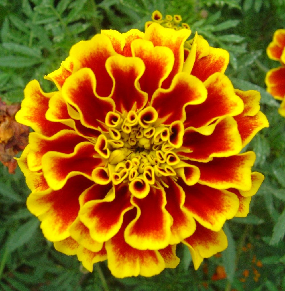 Marigold from the Tegetes genus, edible but only in small quantities so care is required to separate from the above.