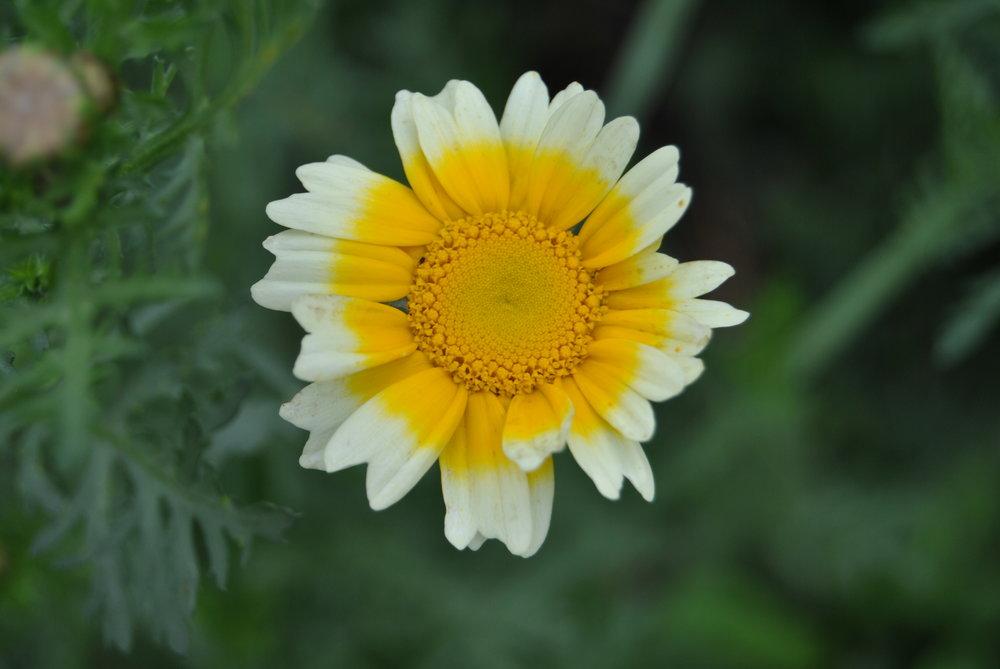 EdibleChrysanthenum_PJtaste.JPG
