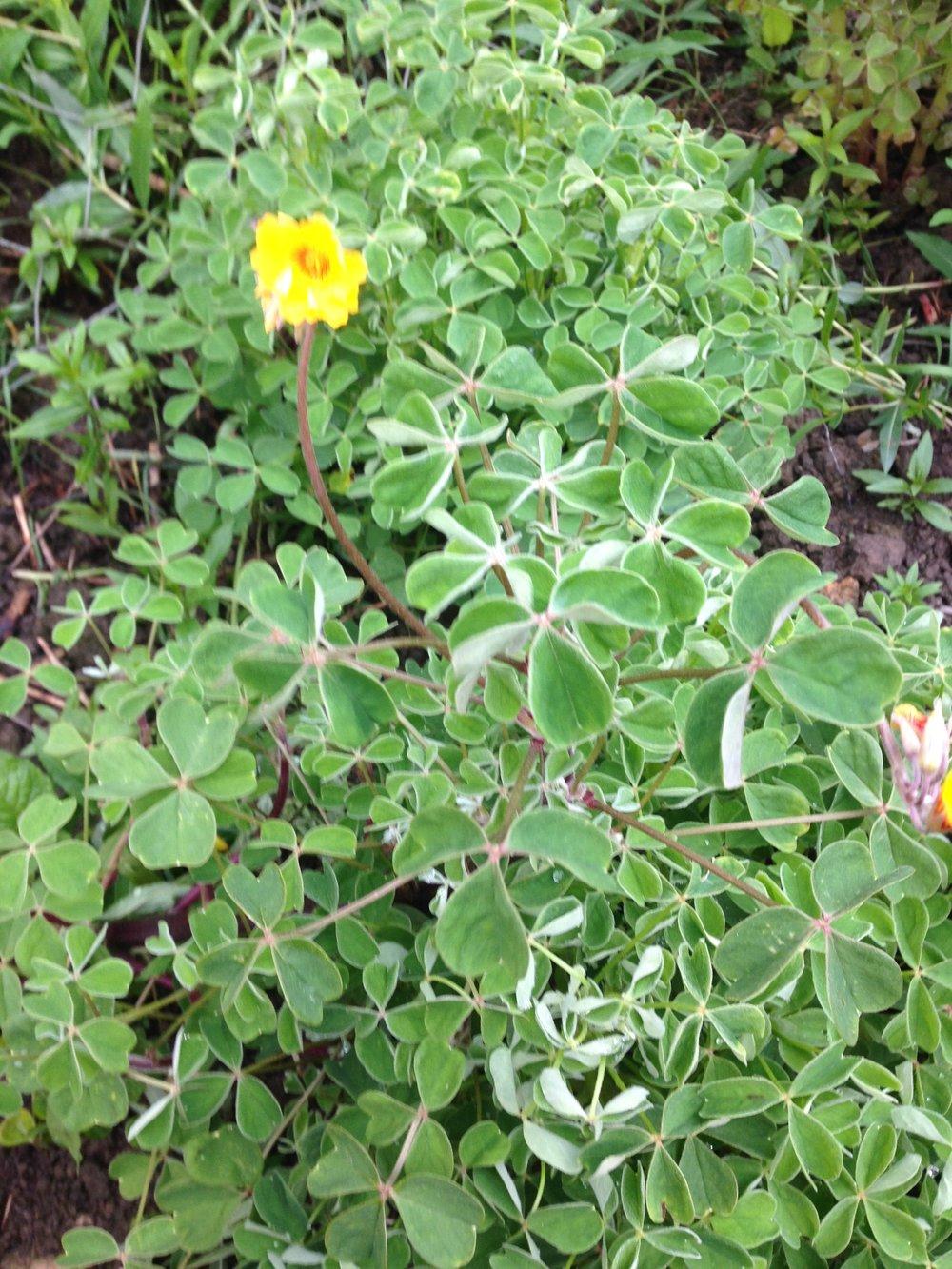 Oca - a perennial tuber grown by PJ taste