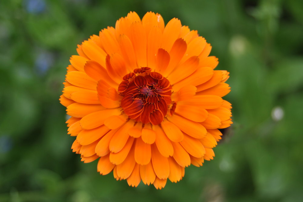 Growing marigolds