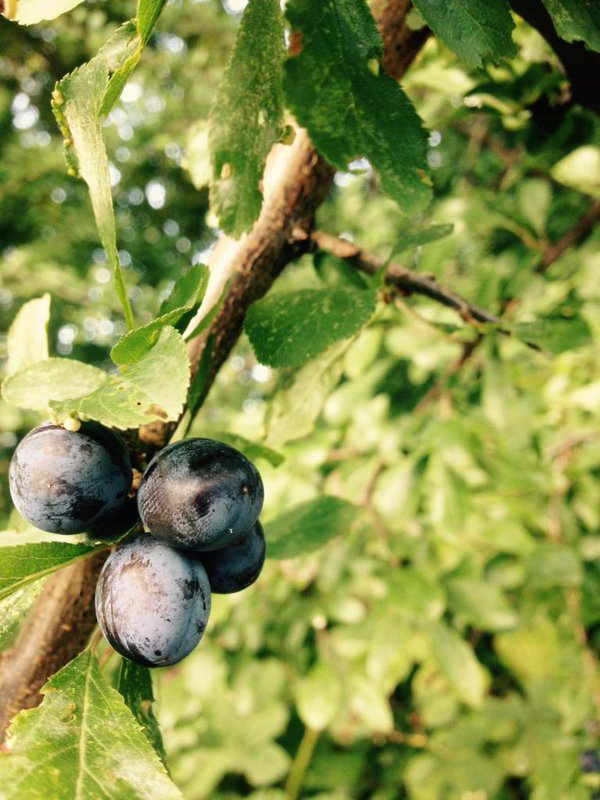 Sloes growing wild in Sheffield