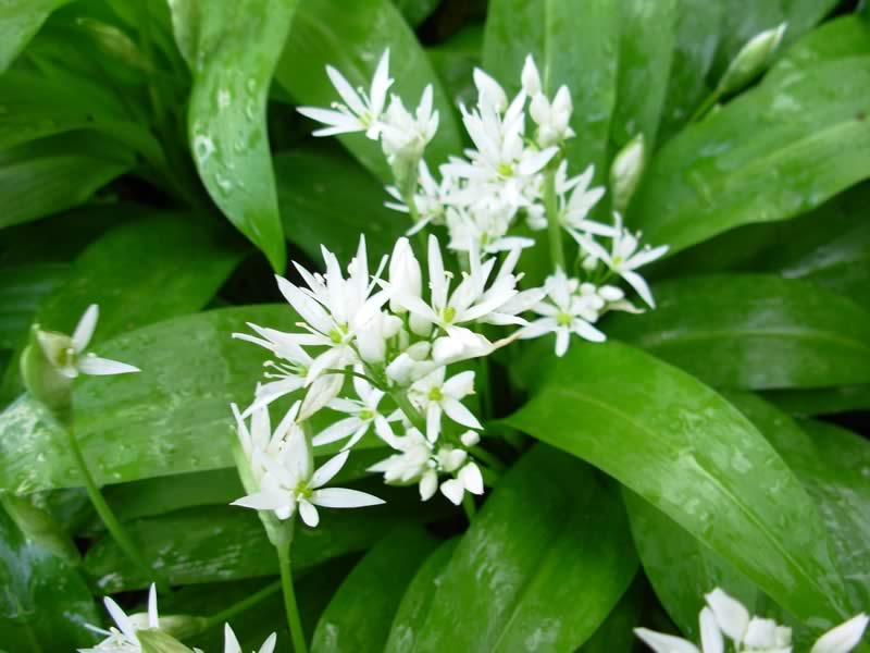 Wild garlic and its beautiful flowers