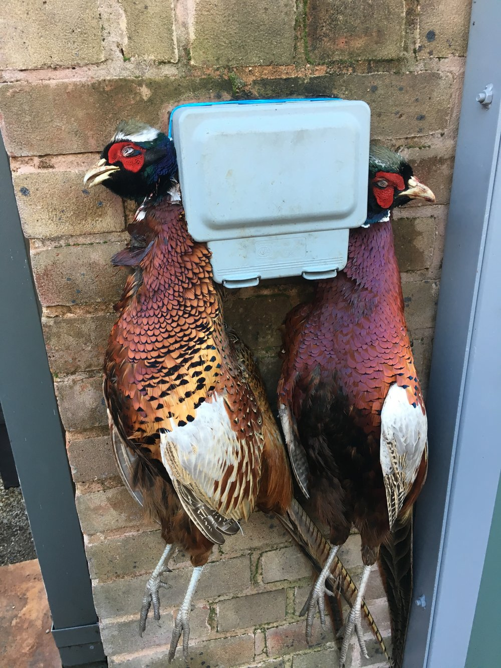 Pheasants from the last shoot of the season at Welbeck