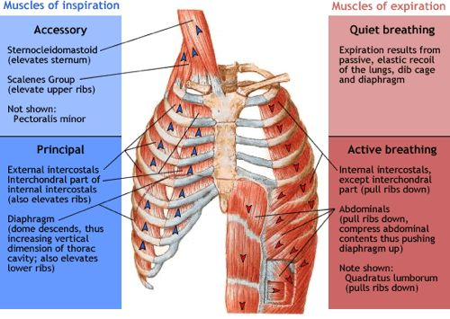 949_937_muscles-of-respiration.jpg