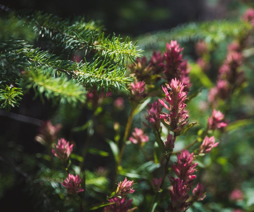 [ rosy paintbush ]
