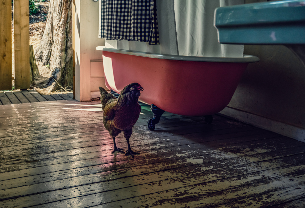 the chicken and the red tub