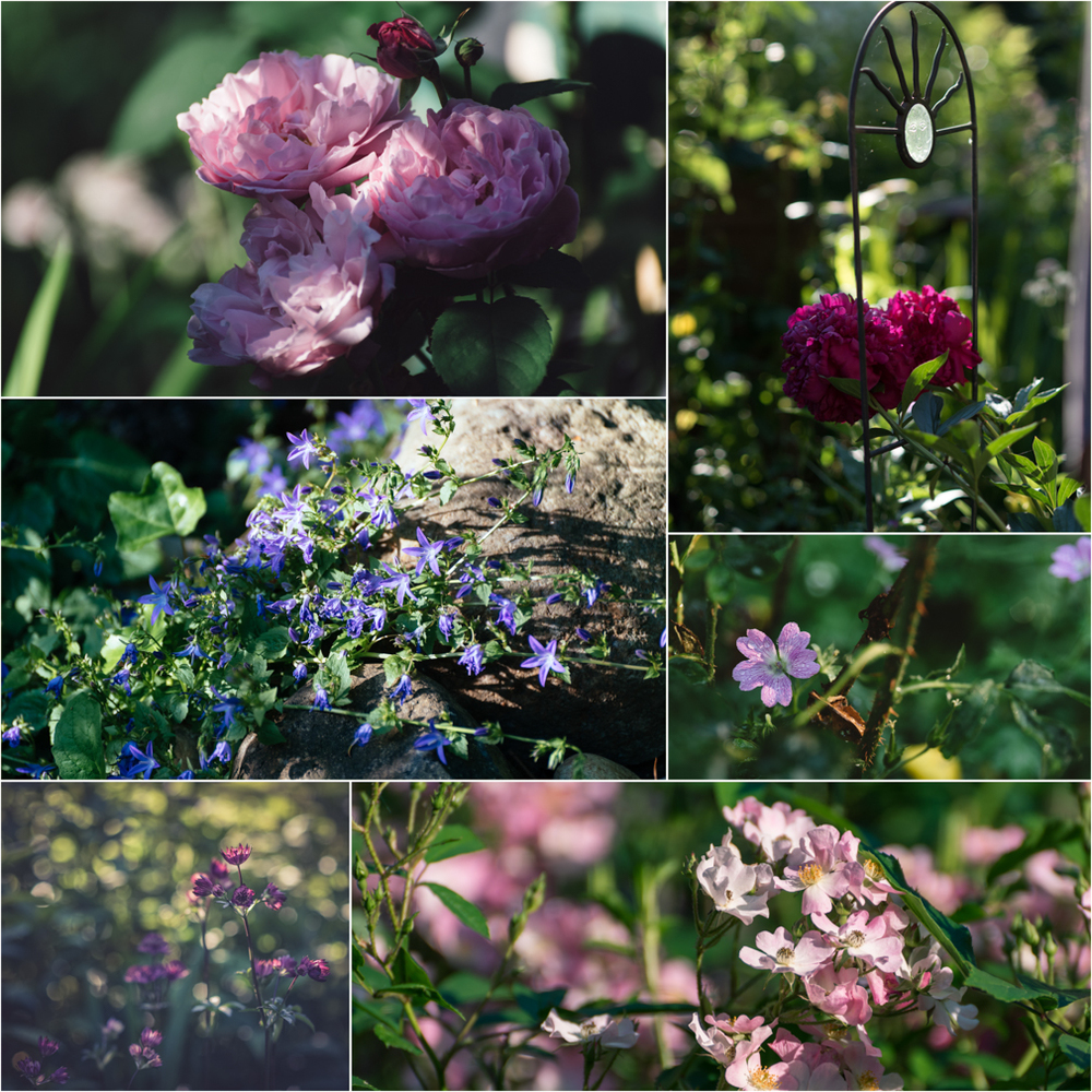 left to right, starting at the top: mary rose, peony, siberian bellflower, cranesbill, masterwort, ballerina rose