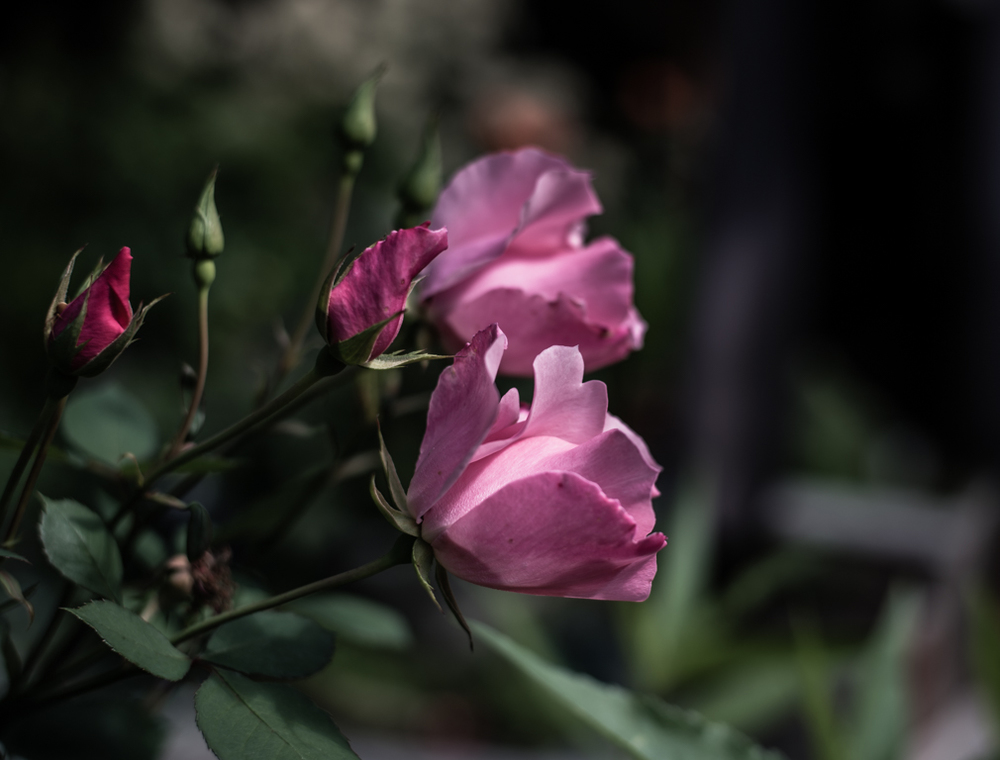 danty bess rose