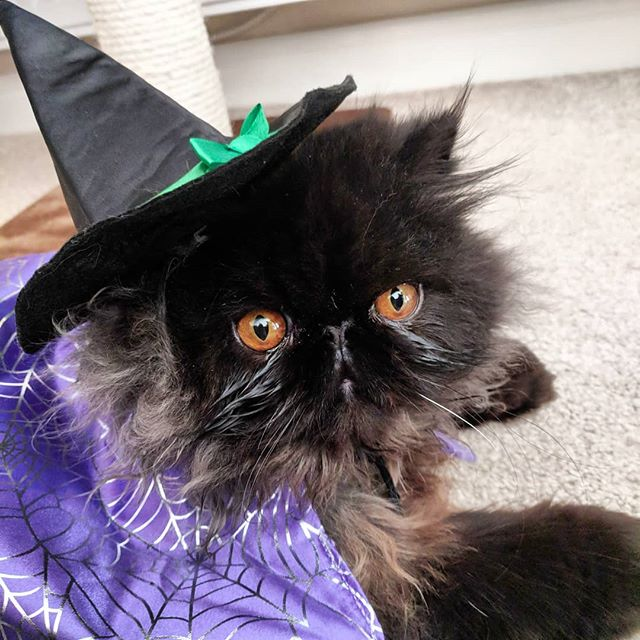 Happy Halloween 🎃🎃 Another excuse to post a picture of our wee Angus. He is so chill he didn't mind dressing up as a witch/vampire for Halloween.  #ourownlittlesalem #salem #salemthecat #angusthecat #blackcatsofinstagram #blackcatsarethebest #happyholloween #allhallowseve #trickortreat #catsdressedup #catcostume #witch #vampire #persiancat