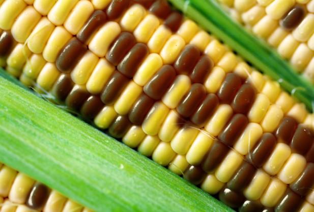 gmo-corn-shutterstock_148205270-617x416.jpg