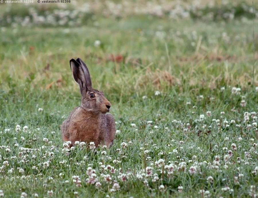 Заяц-русак во дворе дома