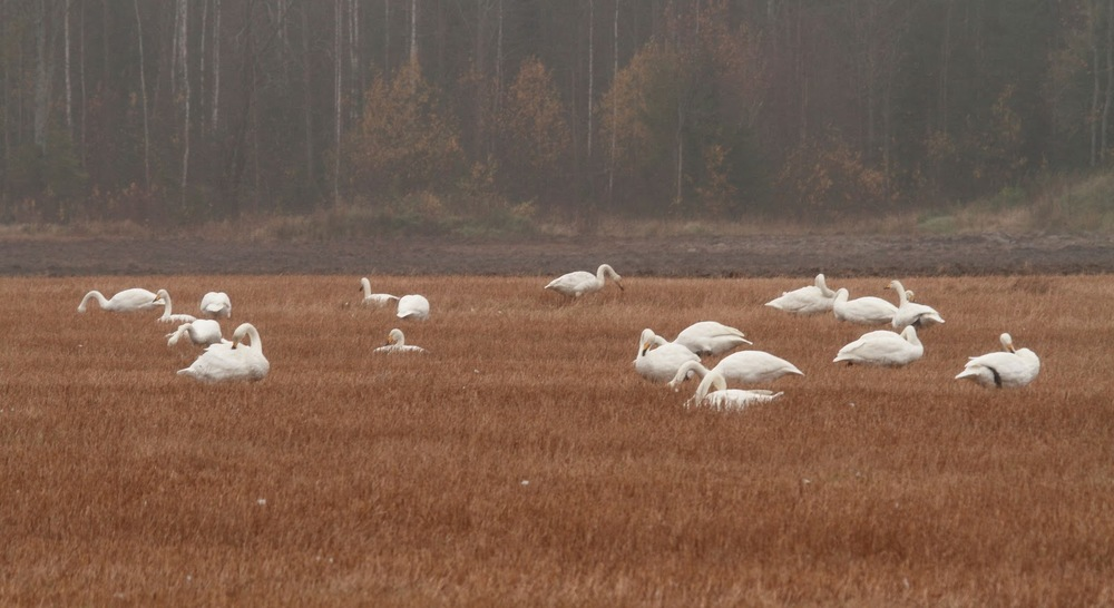 Лебеди в поле