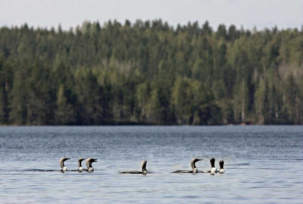 Чернозобая гагара (Gavia Arctica)