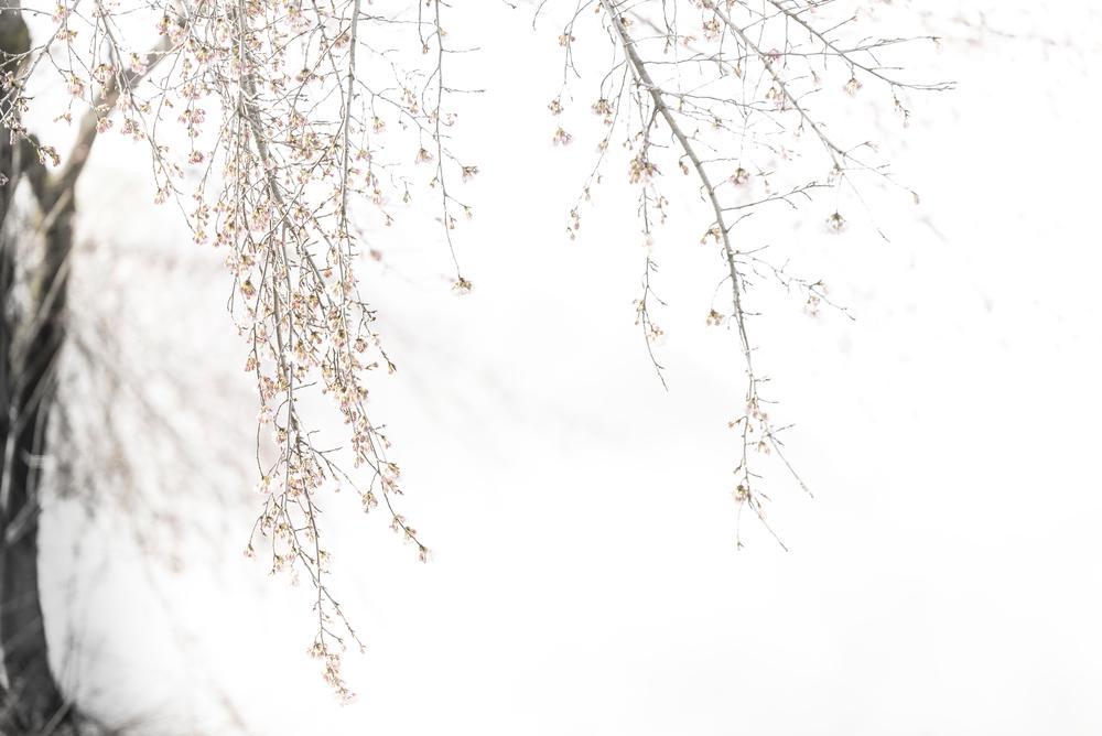 Sakura. Photographed in Kadoyde, Japan April 2015 by Amy Kanka Valadarsky
