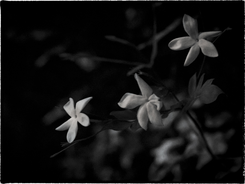 Jasmine scents