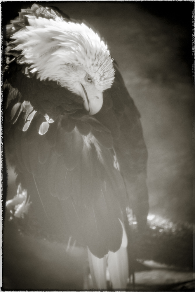 Bald eagle by Amy Kanka Valadarsky