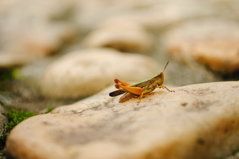 Jimminy Cricket's Cousin