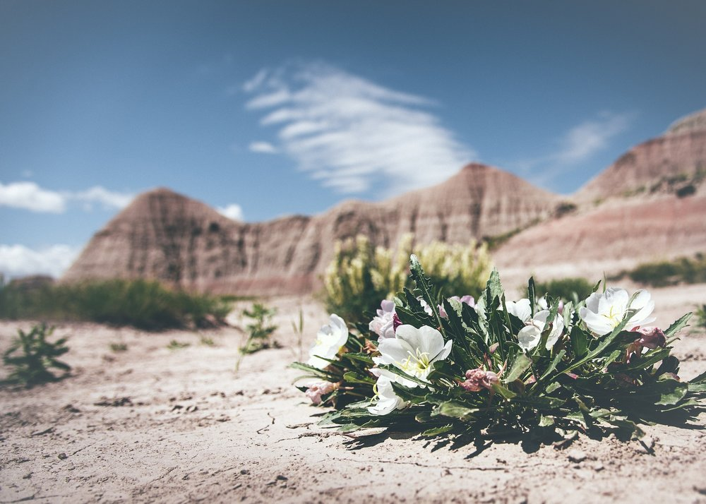 the desert flower - gratitude for salvation.jpg