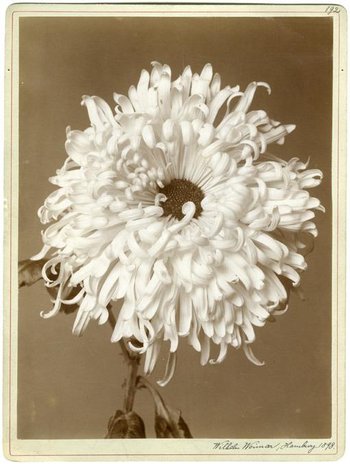 latenebreuse :     Wilhelm Weimar. Chrysanthemum, 1989.